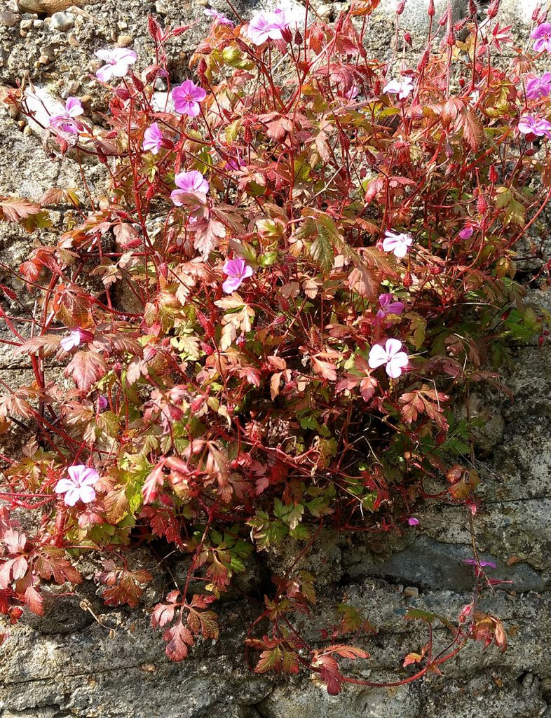 pink flowered plant with red foliage growing out of the cracks in a wall