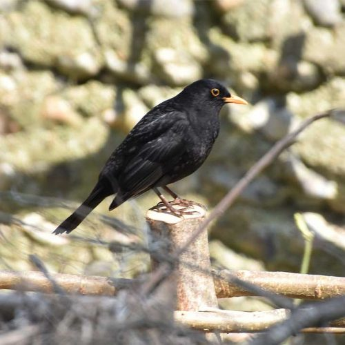 The familiar blackbird is a resident breeder and winter visitor.