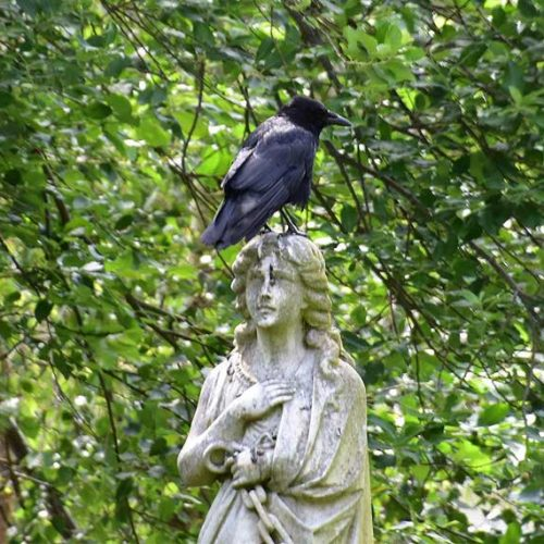 The Carrion Crow is a hugely successful resident breeder which, as its name suggests, is able to feed on anything edible.