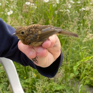 Once referred to as the Hedge Sparrow, the Dunnock is not related to the Sparrows.