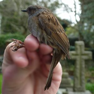 This Dunnock is about to be released, having been ringed in Heene Cemetery on March 15th 2021.
