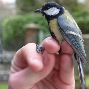 This Great Tit is about to be released, having been ringed in Heene Cemetery on March 15th 2021.