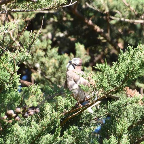 Jays are resident breeders in woodland and town, feeding on invertebrates, fruit, and seeds.