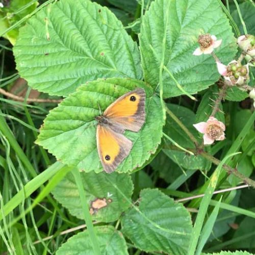 The Meadow Brown butterfly is a common, widespread butterfly found in a range of habitats.