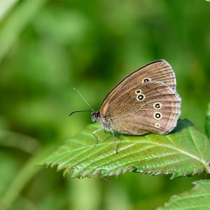 Ringlet  butterflies relish the mixture of shady, moist, and sunny positions, preferring least to fly in hot, dry locations.