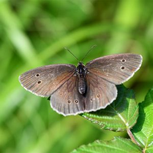 Ringlet butterflies like feeding on Wild Privet, and the eggs are laid on grasses such as Cock's Foot and False Brome.