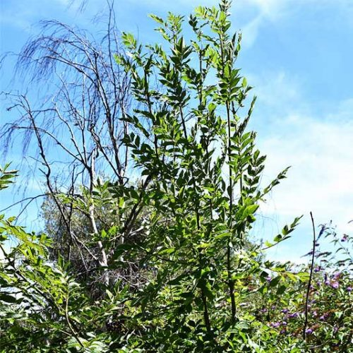 The ash is a native British tree. This individual is a young sapling that we hope will grow to maturity.