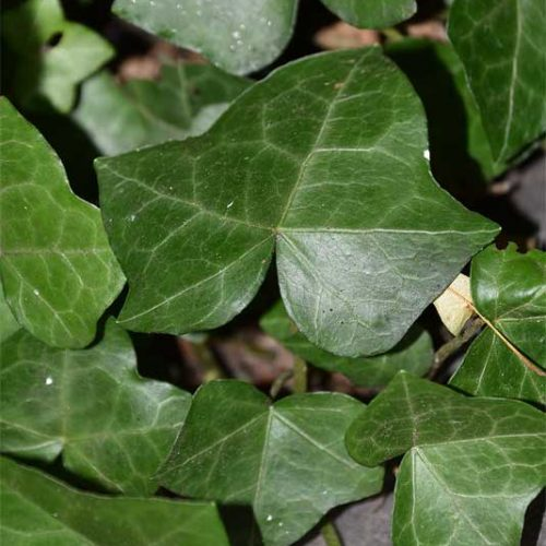 The Atlantic Ivy is not native to this country. Its leaves are broad rather than pointed.