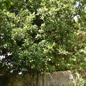 The Bay is a type of laurel.  Some are deciduous.