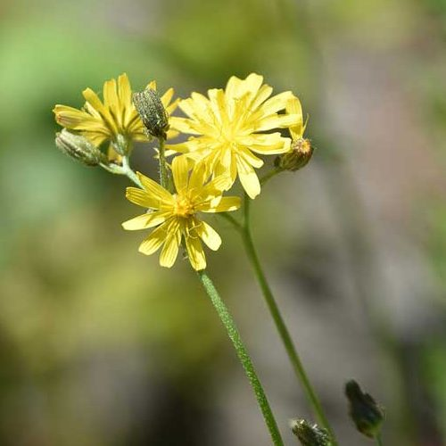 Beaked Hawk's beard is a native flower that appears from May onwards.