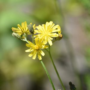 Beaked Hawk's-beard is a native flower that appears from May onwards.