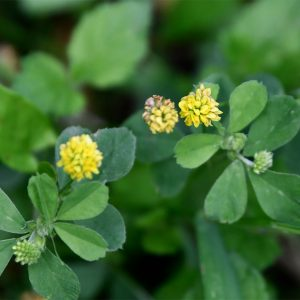 The trefoil leaves of Black Medick have leaflets with a minute point.  The flowers appear from April.