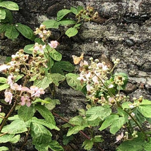 Brambles may annoy gradeners but foragers welcome the fact that they provide blackberries, rich in vitamin C.