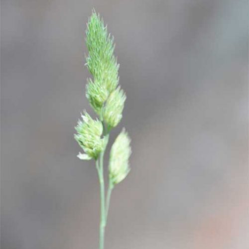 Flowering from May, this native, tussocky grass, Cock's-foot, has flower heads resembling birds' feet, on slim stems.
