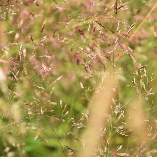 Common Bent is a creeping perennial with fine, flat leaves, spreading panicles, and greenish or purplish-brown spikelets.