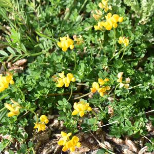 Common Bird's-foot-trefoil was carried by schoolchildren in the belief that it would protect them from punishment.