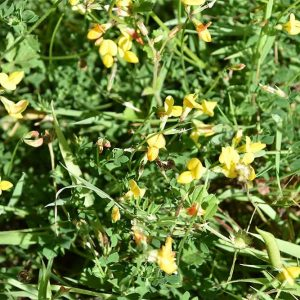 Common Bird's-foot-trefoil is a native plant that flowers from May, and the straight fruit pods resemble a bird's foot.
