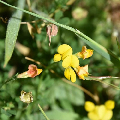 Common Bird's-foot-trefoil flowers from May, and the straight fruit pods resemble a bird's foot.