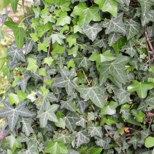 Common Ivy is a native evergreen woody climber provides vital nesting and foraging for small birds.