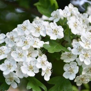 Hawthorn trees produce their dazzline white flowers in May which gives rise to their alternate name of the May-tree.