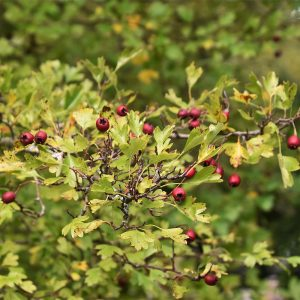 Pick the haws of Hawthorn after frost.