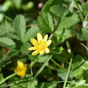 The old name of Lesser Celandine, Pilewort, reflects the fact that its root tubers look like piles.