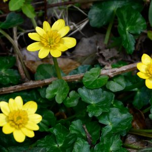 The Lesser Celandine was Wordsworth's favourite flower, and it never opens before 9 am and closes no later than 5 pm.