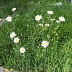 The Oxeye Daisy is a highly successful native, one of the most numerous plants in the cemetery, flowering from May.