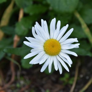 The large daisy-like flowers of the Oxeye Daisy are balsamic and relieve catarrh and coughs, or an infusion can be drunk.