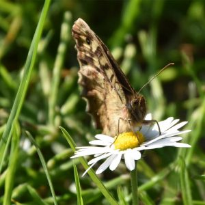 The lotion of the Oxeye Daisy is good for wounds and bruises. A root extract is taken for night sweats.