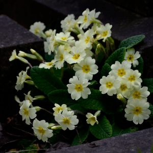 Especially on dark Spring days, the bright faces of the Primrose is especially welcome in Heene Cemetery.