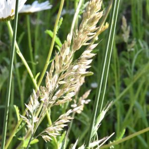 Rough Meadow-grass is a native and flowers from May.