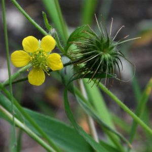 Flowering from May, the yellow flowers of this tough, invasive native plant are a familiar sight in gardens nowadays.