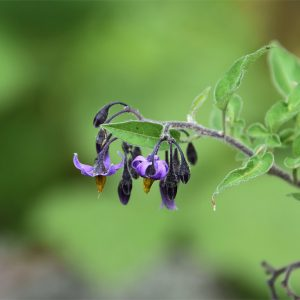 Bittersweet or Woody Nightshade has distinctive bright purple and yellow flowers.