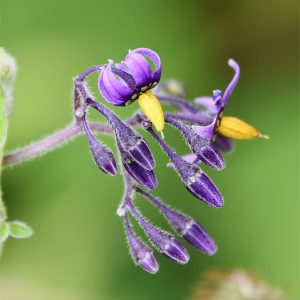 Bittersweet or Woody Nightshade is a clambering perennial that appears in May.