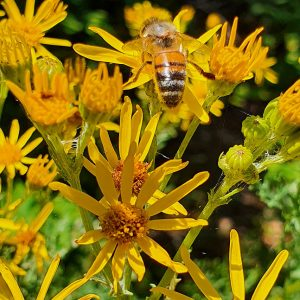The Honey Bee is an abundant species, seen from early Spring until late Autumn.