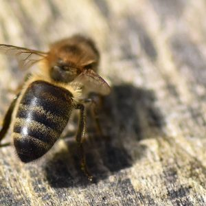 Honey bees sting only once as the hooked stinger gets caught in the victim's skin.