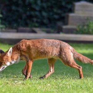With its red-brown coat, long bushy tail with white tip, narrow muzzle, and large erect ears, the Red Fox is unmistakeable.
