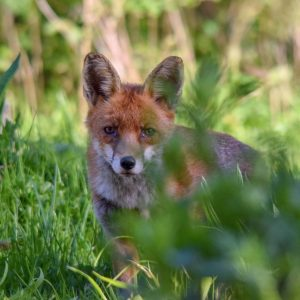 Red Foxes are principally nocturnal in the countryside, and will spend the day under cover, or in a burrow or earth.