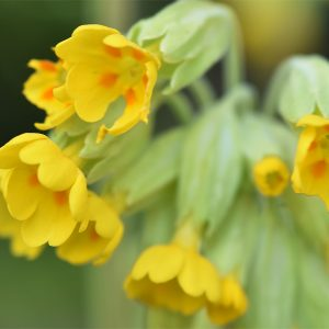 The young leaves of Cowslips may be added to salads and also used to stuff meat.