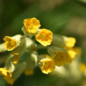 The use of Cowslips against jaundice may be because of the yellow colour of its flowers rather than any effectiveness.