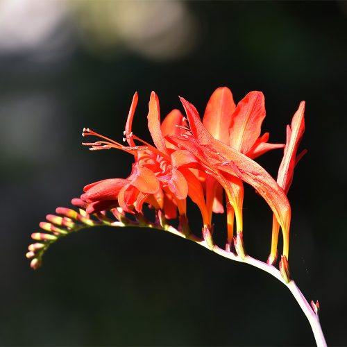 Crocosmia is one of the familiar Montbretia cultivars, flowering from late June.