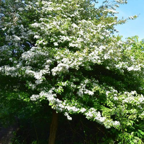 The white flowers in May of the native Hawthorn tree are followed by the crimson berries called haws.