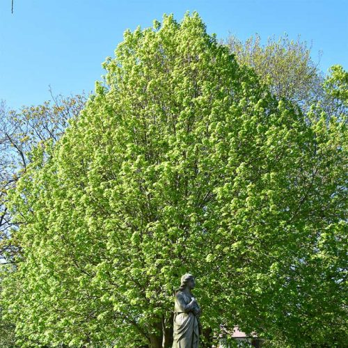 There are the three species of lime tree in Britain, but only the Large-leaved Lime is found in the cemetery.