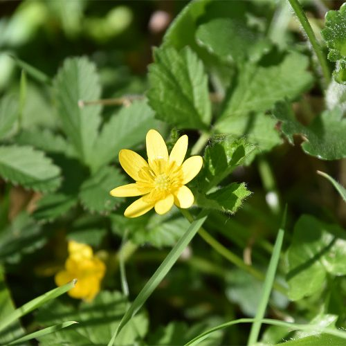 The flowers of the native Lesser Celandine, a member of the buttercup family appear, from March.
