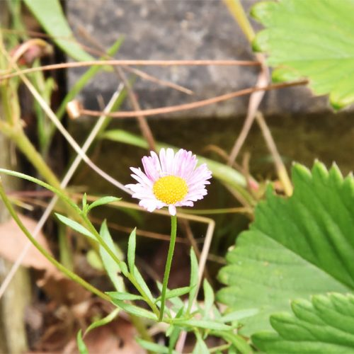 The daisy-like flowers of Mexican Fleabane are pink (turning white) with yellow centres, and flower from July.