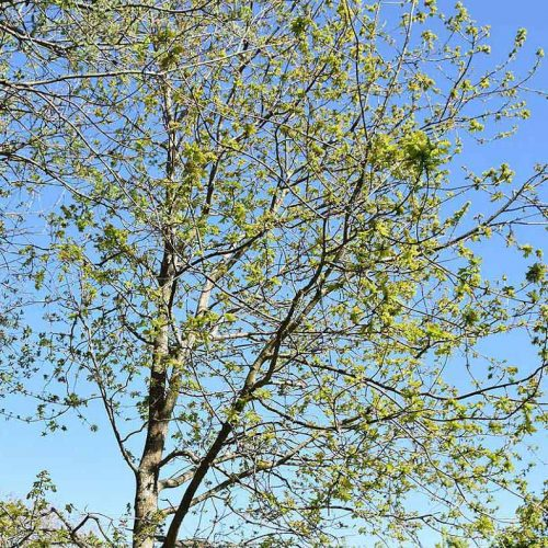 The greenish-yellow catkins of the native Pedunculate Oak appear in April.