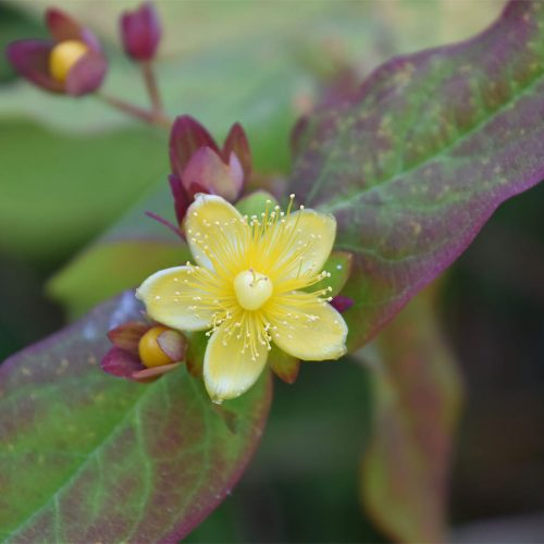 Flowering in June, the leaves of Tutsan, native undershrub, are aromatic when crushed.