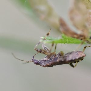 The Ant Damsel Bug feeds on insect eggs, aphids, and small caterpillars.