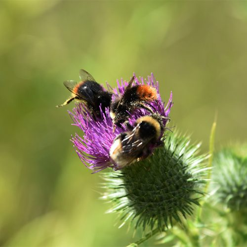 Quite distinctive of the Red-tailed Bumblebee are the jet-black body and red-orange tail, with black pollen baskets.